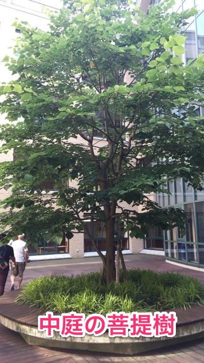 洛南高等学校附属中学校 中庭 菩提樹